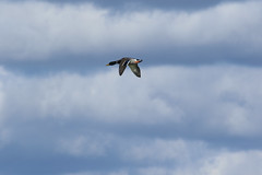 8F9A1166.jpg (ericvdb) Tags: bird duck mallard muskegon wastewaterplant