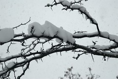 The Winter (series) (melleus) Tags: park trees winter white snow cold nature weather cool seasons branches d200 thorns snowfall imagemagick dcraw