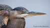 "Too Quick (jimgspokane) Tags: birds wildlife herons otw greatblueherons naturewatcher ""nikonflickraward"" today´sbest"