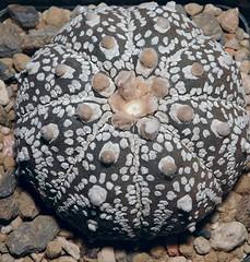 Astrophytum asterias superkabuto (Resenter89) Tags: cactus cacti grasse soil mineral cactaceae piante cv kakteen astrophytum succulente asterias superkabuto cactacee