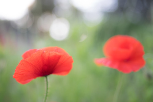 "Two poppies • <a style=""font-size:0.8em;"" href=""http://www.flickr.com/photos/52083013@N03/23708387129/"" target=""_blank"">View on Flickr</a>"