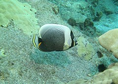 scaled (BarryFackler) Tags: marinelife hawaii 2016 kona diving animal tropical creature honaunau ocean fish reticulatedbutterflyfish creticulatus vertebrate butterflyfish chaetodonreticulatus island konadiving coralreef diver seacreature aquatic westhawaii undersea pacificocean hawaiidiving life fauna organism polynesia honaunaubay biology marine outdoor water ecology sea dive hawaiiisland pacific underwater ecosystem bigisland saltwater marinebiology nature coral being zoology southkona hawaiicounty konacoast sealifecamera barryfackler marineecology hawaiianislands scuba barronfackler sandwichislands marineecosystem