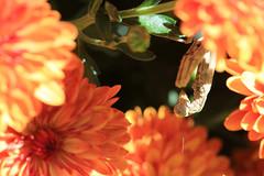 The Prayer Garden (right2roam) Tags: mum chrysanthemum prayingmantis garden flower autumn religious prayer insect bug macro omaha right2roam minnelusa historicdistrict