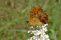 Brenthis daphne - the Marbled Fritillary (BugsAlive) Tags: butterfly butterflies mariposa papillon farfalla schmetterling бабочка animal outdoor insects insect lepidoptera macro nature nymphalidae brenthisdaphne marbledfritillary nacrédelaronce heliconiinae wildlife lozère parcnationaldescévennes montlozère liveinsects france