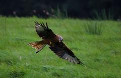 Red Kite, Doune (- Matt Haigh -) Tags: kite redkite doune borders nature raptor feeding birdofprey bird birding