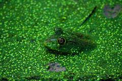 My brown eyed frog (danstambaugh) Tags: lake frog pa patnc