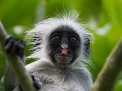 Zanzibar 2015 (hunbille) Tags: jozanichwakabaynationalpark jozani chwaka bay national park forest reserve jozaniforestreserve zanzibarredcolobus zanzibar red colobus monkey tanzania framed 15challengeswinner cy2