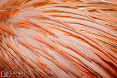 50 shades of pink (grimaux.jordan) Tags: 50 shades pink feather color colorful phoenicopterus roseus greater flamingo bird abstract nature