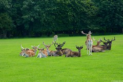 (Johanna Viala) Tags: dublin irlande daim phoenix park