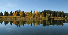 The flock over the trees (alideniese) Tags: grandtetonnationalpark wyoming usa oxbowbend landscape waterscape river water trees morning reflection birds nature autumn fall autumnal