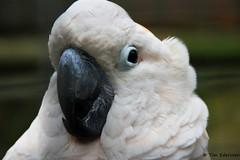 Photomodel (Tim Ederveen) Tags: photomodel cockatoo bird animal nature bokeh portret closeup timederveen canoneos1200d canon