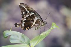 African Swallowtail (Papilio constantinus) (P i n u s) Tags: pinus macro papiliorama africanswallowtail papilioconstantinus butterfly schmetterling constantinesswallowtail explore