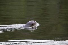 Giant otter1 (tau247) Tags: amazonianrainforest giantotter manunationalpark peru pteronurabrasiliensis southamerica aquatic carnivore mammal nature predator rare threatened wildlife