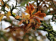 095-IMG_6567 (hemingwayfoto) Tags: ahorn blatt georgengarten herbst herbstbaum herbstlaub herrenhusergrten park