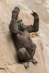 Joanne (ToddLahman) Tags: joanne babygorilla gorilla westernlowlandgorilla escondido sandiegozoosafaripark safaripark canon7dmkii canon canon100400