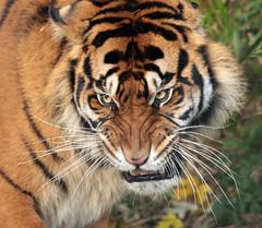 sumatran tiger Emas  Blijdorp JN6A4057 (j.a.kok) Tags: tijger tiger sumatraansetijger sumatrantiger pantheratigrissumatrae cat kat predator asia azie sumatra blijdorp blijdorpzoo mammal zoogdier emas