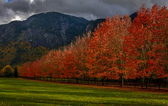Aw Shucks, Too Late! (Daniel P Froese) Tags: autumn fall colors photo photos image images picture pictures farm maple maples red driveway rockwood washington washingtonstate brilliant mountain hillside fence fenceline