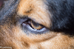 Eye of Tiger ( Schroeder ) (lothar.luehring) Tags: schroeder