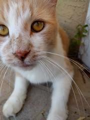2016- Corona Khalaf 03 (teresamarkos) Tags: cat cats kitten kittens felines feline