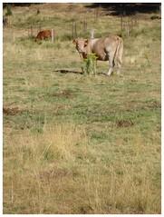 Muuuu .. (margabel2010) Tags: animales bovino bvido bvidos mamferos cuernos vaca vacas cuadrpedos airelibre naturaleza rboles pastos vallas cercados conferas sierra guadarrama