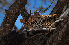The Leopard, Serengeti National Park (Poulomee Basu) Tags: leopard beauty tranquil bigcat bigcatdiary serengeti tanzania africa adventure nikon nikond90 nikond90users wild wildlife wildlifeaddicts wildlifephotographer wildlifephotography spots safari safarilovers nature naturelovers