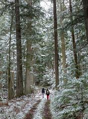 Inland BC Rainforest (robertdownie) Tags: trees forest trail path snow hiking rainforest giant british columbia old growth canada bc ich inland temperate interior cedar hemlock ecozone upper fraser valley