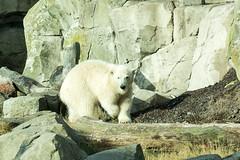 kleiner Eisbr (grasso.gino) Tags: tiere anmals natur nature zoo bremerhaven zooammeer nikon d5200 br bear eisbr polarbear
