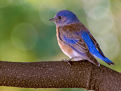 Young Western Bluebird (FotoGrazio) Tags: freetodownload composition nature photographersinsandiego fotograzio digitalphotography animal capture mothernature feathers waynegrazio photography photographicart photographersincalifornia westernbluebird freeimage bokeh waynesgrazio downloadforfree photoshoot flickr bluebird sandiegophotographer lovely blue explore wildlife beautiful worldphotographer californiaphotographer artofphotography 500px closeup internationalphotographers freepicture fledgling bird