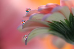 Little drops (Marilena Fattore) Tags: macro canon tamron colors water drops creativity nature closeup focus petals floralart reflection bokeh pink purple delicate softness daisy flower garden yellow