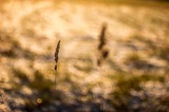 Domiplan#02 (Marcus Hellwig) Tags: gras abendlicht eveninglight lumiredusoir weed herbe herbststimmung autumnmood bokeh domiplan