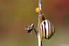 Last Whisper (Vie Lipowski) Tags: ladybug ladybird ladybeetle snail detritivore insect beetle bug lastwhisper autumn wildlife nature macro