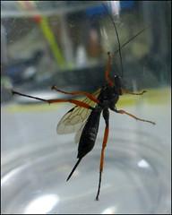 Ichneumon Wasp (kcm76) Tags: 2016 lumix tz35 insect ichneumon 76