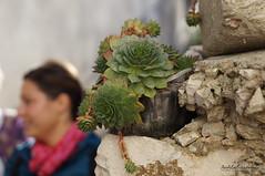 uvarkua (Sempervivum tectorum) (Anela epanovi) Tags: dream trips vela luka travel tourism you sholud be here