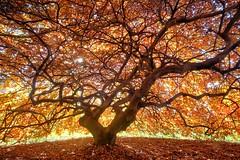 Yakima Arboretum - 'Tree on Fire' (Wayne~Chadwick) Tags: yakima autumn colors