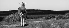 DSC02680.jpg (ChrMous) Tags: tamronsp150600mmf563 southafrica zoogdieren zuidafrika animals sonyslta99 2016 easterncape steppezebra addoelephantnationalpark burchellszebra equusburchelli