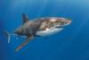 Great White Shark (Big Fish Expeditions) Tags: greatwhite whiteshark guadalupeisland cagediving greatwhiteshark