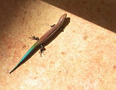 Basking Lisa - Chalcides sexlineatus (Konakilo) Tags: reptile lisa laaldea grancanaria lagarto lizard basking