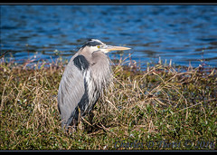 Great Blue Heron (Ardea herodias) (ctofcsco) Tags: 1500 100 35350mm 350mm 5d 5dclassic 5dmark1 5dmarki bird blue canon ef353503556lusm ef35350mm ef35350mmf3556lusm eos5d explore f10 gray greatblueheron heron orange superzoom unitedstates usa white florida geo:lat=3019036185 geo:lon=8263259511 geotagged lakecity outdoor animal