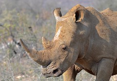 magnificent Rhino Bull (such a contrast with the previous image!) (cirdantravels (Fons Buts)) Tags: neushoorn rhino nashorn rhinocéros rhinoceros ceratotherium madikwe