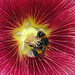 Single Deep Red Hollyhock with Bee