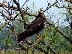 Caracolero. (jagar41_ Juan Antonio) Tags: animales aves ave halcn pjaro animal guila caracolero