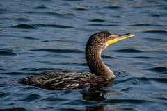 Cormorant @ 450mm (KWPashuk) Tags: nikon d7200 tamron150600mm lightroom kwpashuk kevinpashuk bird waterfowl cormorant swimming lasalle park burlington ontario canada wildlife urbanwildlife outdoors nature