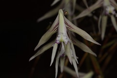 Dockrillia schoenina (syn Dendrobium schoeninum) 2016-10-16 02 (JVinOZ) Tags: orchidspecies orchid australiannativeorchid australianepiphyticorchid dendrobium dockrillia dockrilliaschoenina dendrobiumschoeninum pencilorchid orchidaceae arfp nswrfp qrfp subtropicalarf arfflowers whitearfflowers