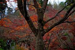 Autumn Tree (tez-guitar) Tags: kyoto temple autumn autum autumn leaves pentax pentaxart tree wood forest garden maple