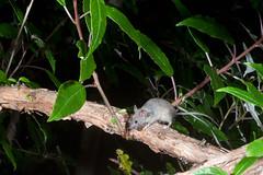Mouse (Mus musculus) and Tree Fuchsia/Kotukutuku (Fuchsia excorticata) (Nga Manu Images NZ) Tags: fscientificnames feeding fuchsiaexcorticata mammals mouse musmusculus plantsandfungi treefuchsiakotukutuku trees