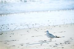 A walk on the beach (WilliamND4) Tags: gull seagull bird nikond610 beach water ocean