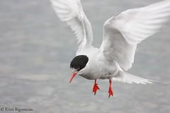 Sterna vittata (Rémi Bigonneau) Tags: sternavittata antarctictern sternecouronnée sterne tern southgeorgia géorgiedusud grytviken oiseau bird nature wildlife animal antarctique antarctica