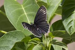 Chlosyne ehrenbergii (K. Zyskowski and Y. Bereshpolova) Tags: mexico butterfly nymphalidae nymphalinae chlosyne ehrenbergii