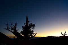 [The Ancient Pines at Dusk] (miltonsun) Tags: ancientbristleconepineforest whitemountains easternsierra california ancientpines inyocounty dusk highway395 nightphotography westcoast evening sunrise sunset landscape mountains clouds sky meadows autumn rocks lake forest outdoor natural