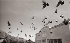 Flock (efo) Tags: bw film birds pigeons pidge sanpablo fed zarya ilfordpanf50 xtol